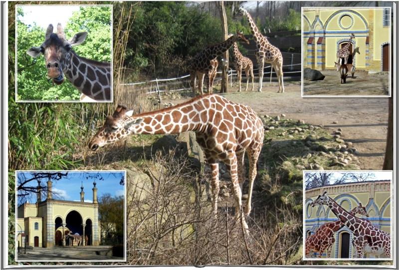 2405  Zoo Giraffen